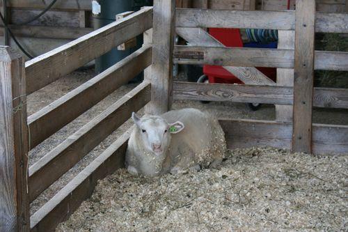 Shelburne sheep