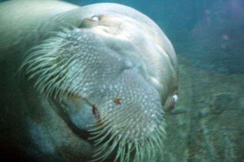 Live walrus